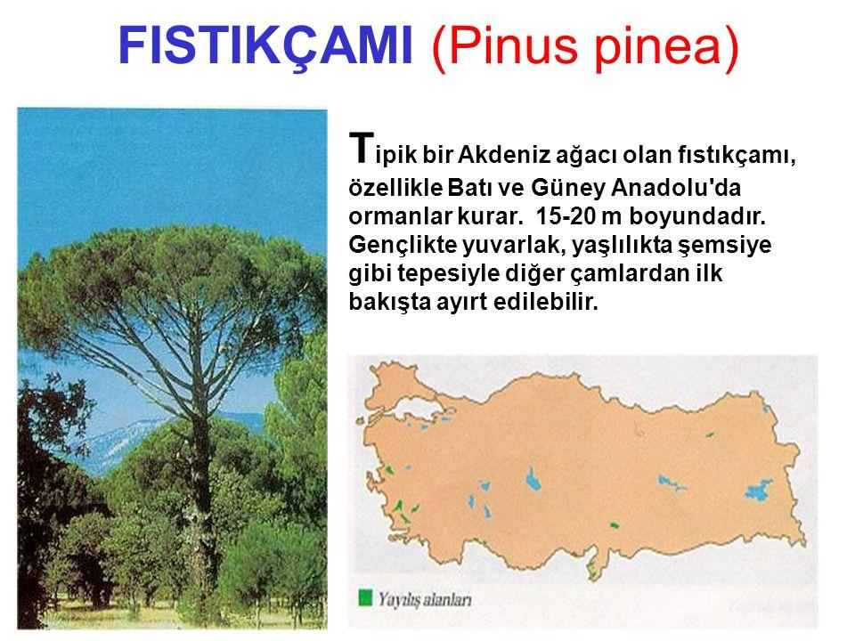 FISTIKÇAMI (Pinus pinea)