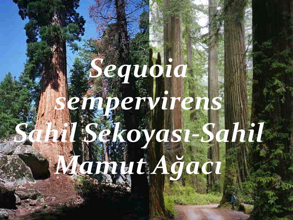 Sahil Sekoyası-Sahil Mamut Ağacı
