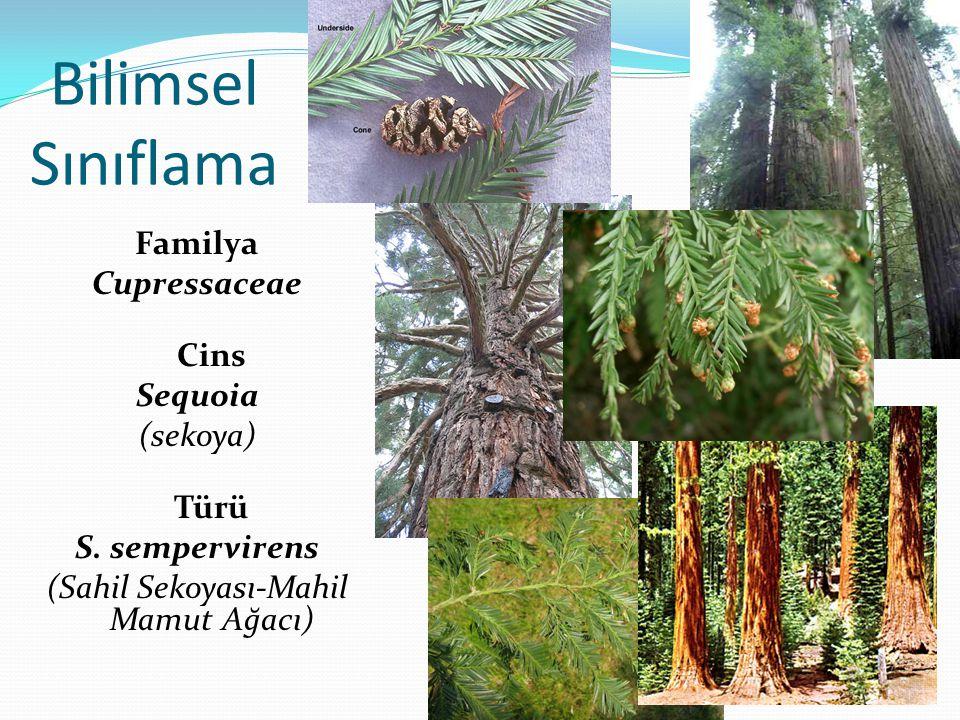 Bilimsel Sınıflama Familya Cupressaceae Cins Sequoia (sekoya) Türü S.