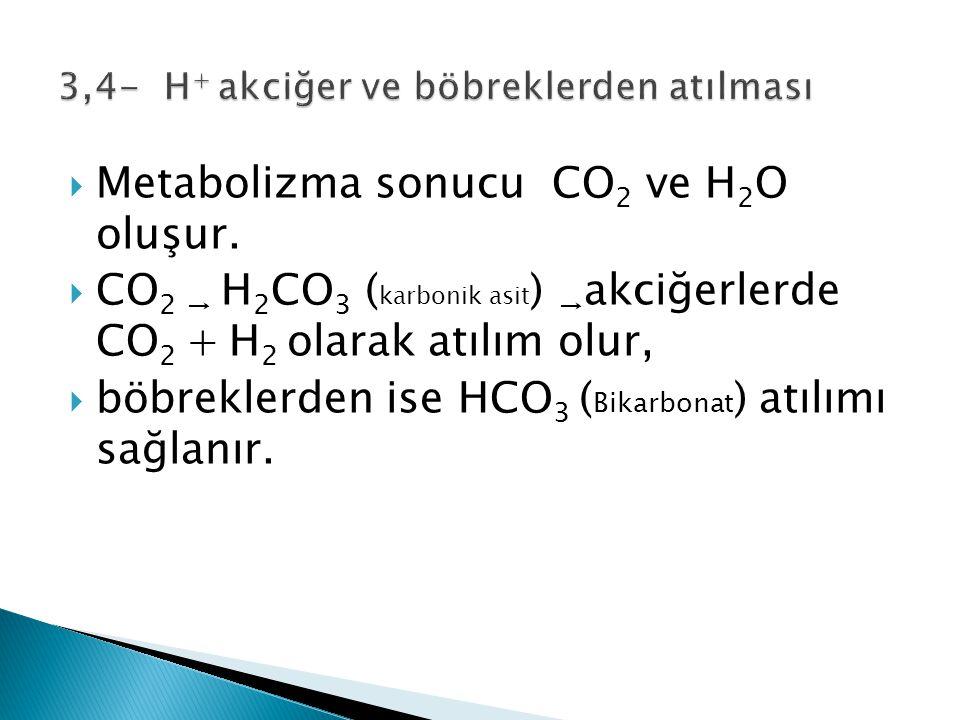3,4- H+ akciğer ve böbreklerden atılması