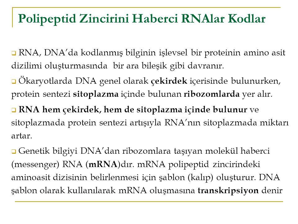 Polipeptid Zincirini Haberci RNAlar Kodlar