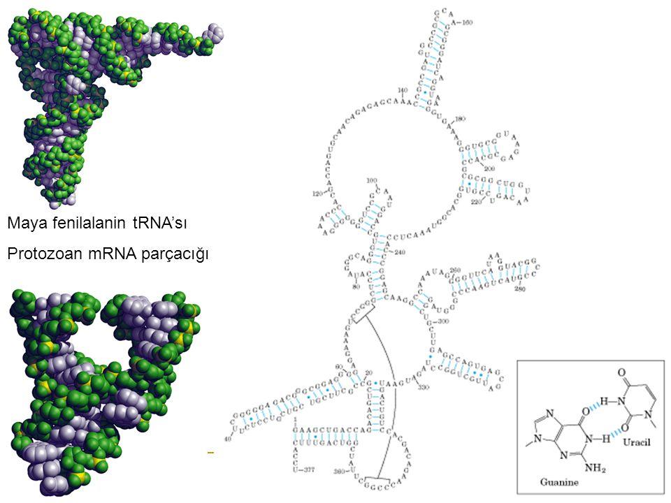 Maya fenilalanin tRNA'sı