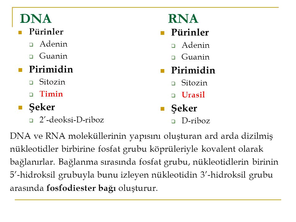 DNA RNA Pürinler Pirimidin Pirimidin Şeker Şeker Pürinler