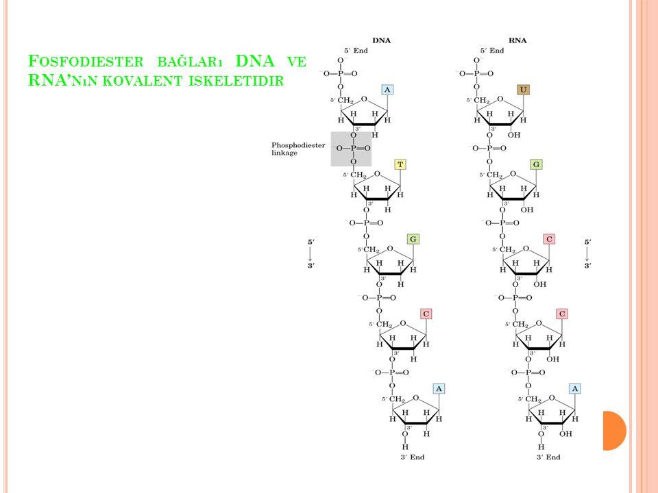 Fosfodiester bağları DNA ve RNA'nın kovalent iskeletidir