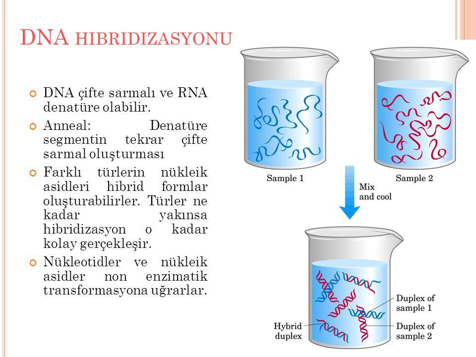 DNA hibridizasyonu DNA çifte sarmalı ve RNA denatüre olabilir.