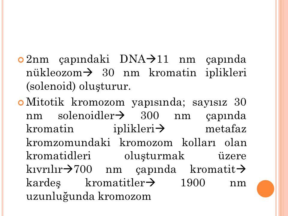 2nm çapındaki DNA11 nm çapında nükleozom 30 nm kromatin iplikleri (solenoid) oluşturur.