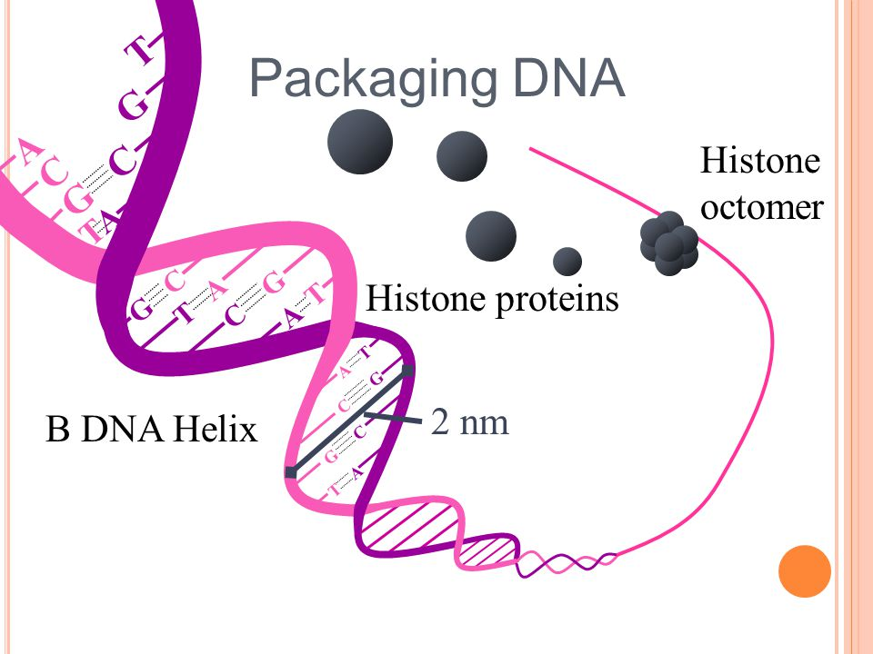 Packaging DNA T G A Histone C octomer Histone proteins 2 nm