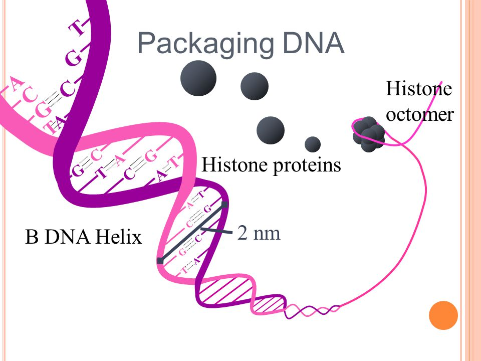 Packaging DNA T G A Histone C G C octomer Histone proteins 2 nm