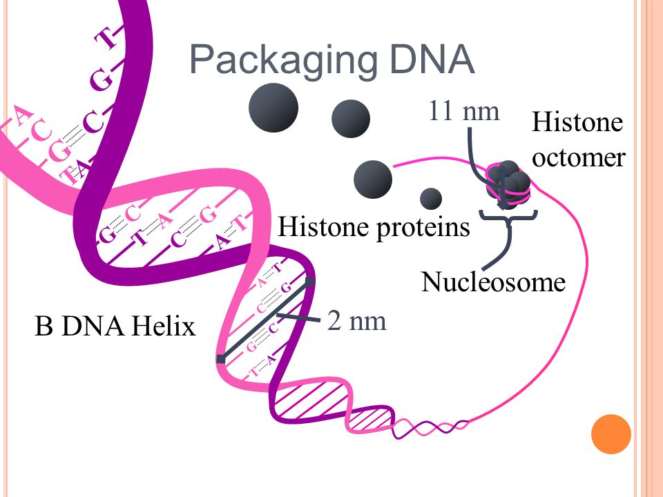 Packaging DNA T G A 11 nm Histone C G C octomer Histone proteins