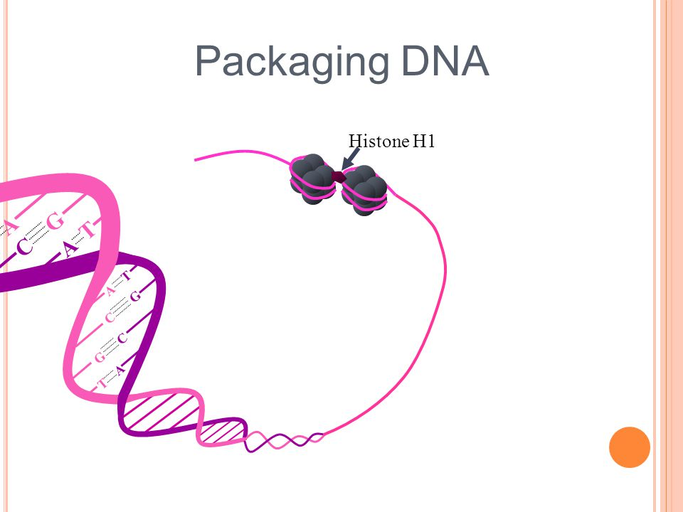 Packaging DNA Histone H1 A T T A G C C G C G G C T A A T