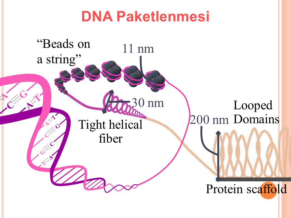 DNA Paketlenmesi Beads on a string 11 nm 30 nm Looped Domains 200 nm