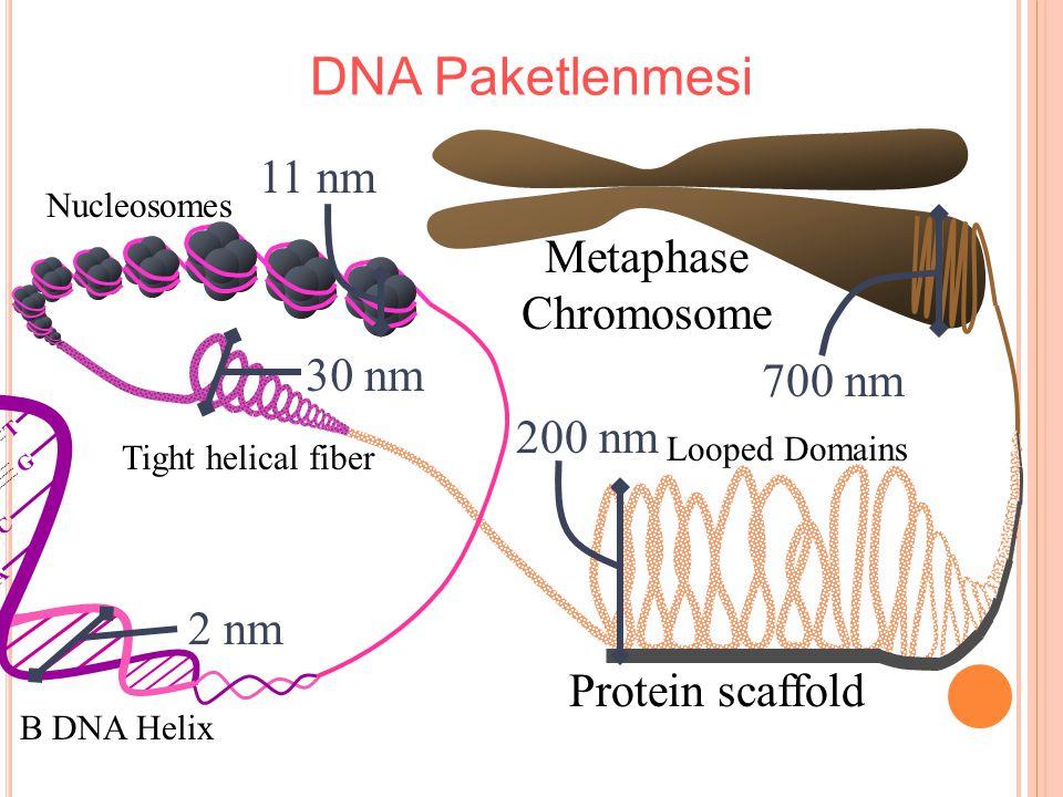 DNA Paketlenmesi 11 nm 30 nm 200 nm 2 nm 700 nm Metaphase Chromosome