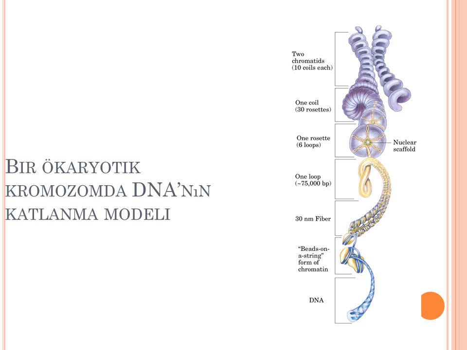 Bir ökaryotik kromozomda DNA'nın katlanma modeli
