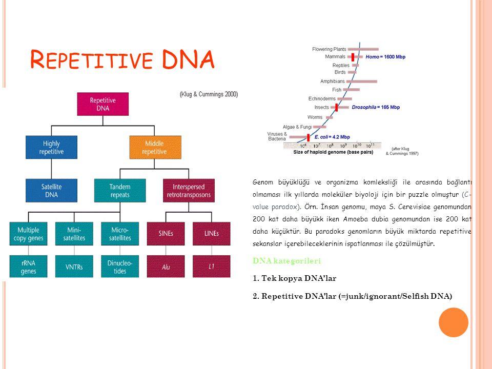 Repetitive DNA 1. Tek kopya DNA'lar