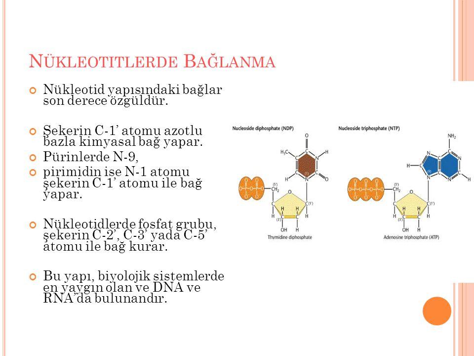 Nükleotitlerde Bağlanma