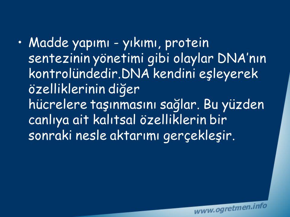 Madde yapımı - yıkımı, protein sentezinin yönetimi gibi olaylar DNA'nın kontrolündedir.DNA kendini eşleyerek özelliklerinin diğer hücrelere taşınmasını sağlar.