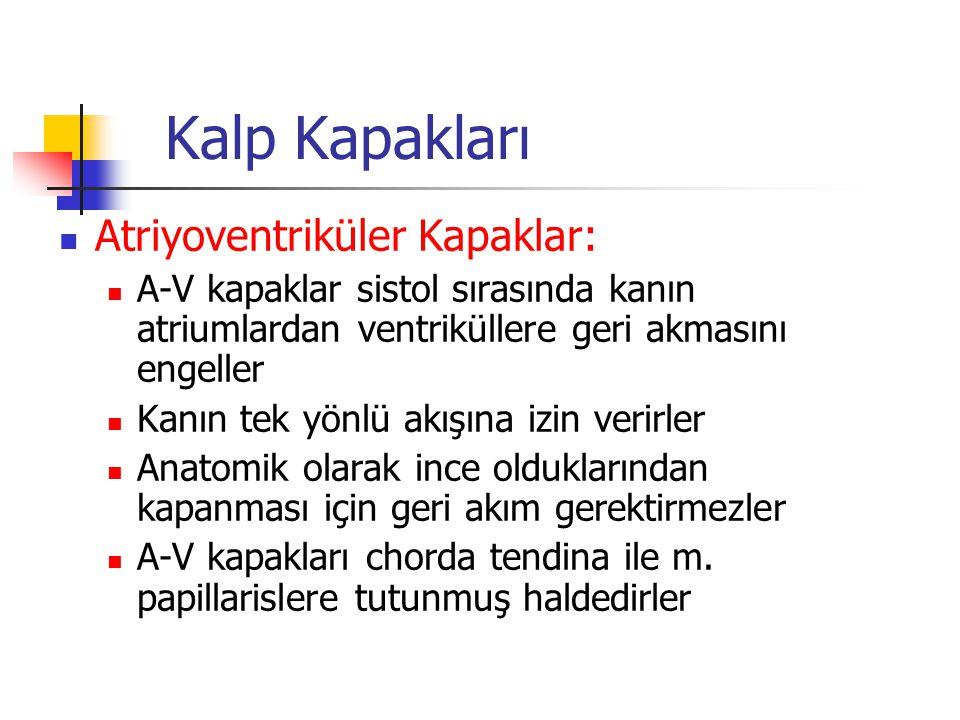 Kalp Kapakları Atriyoventriküler Kapaklar: