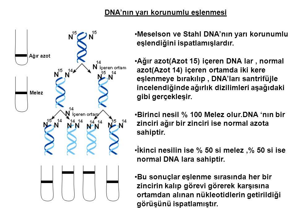 DNA'nın yarı korunumlu eşlenmesi