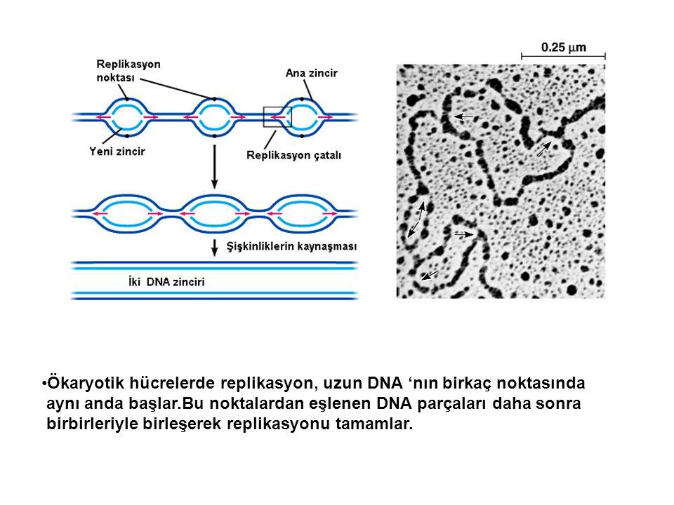 Ökaryotik hücrelerde replikasyon, uzun DNA 'nın birkaç noktasında