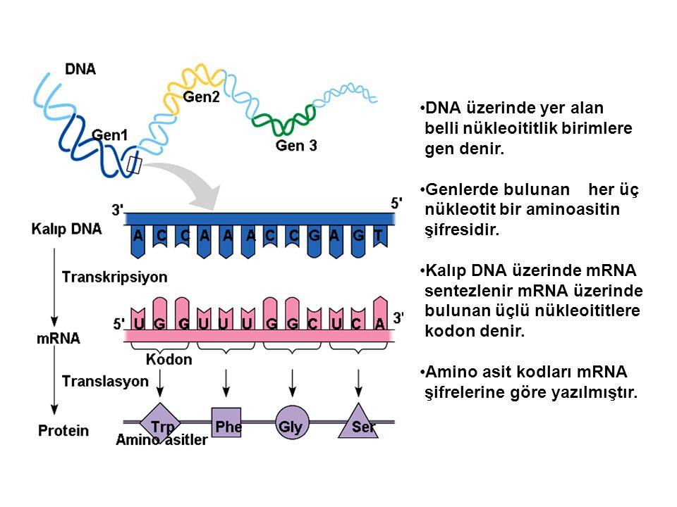 DNA üzerinde yer alan belli nükleoititlik birimlere. gen denir. Genlerde bulunan her üç. nükleotit bir aminoasitin.