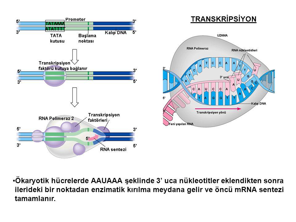 TRANSKRİPSİYON Ökaryotik hücrelerde AAUAAA şeklinde 3' uca nükleotitler eklendikten sonra.