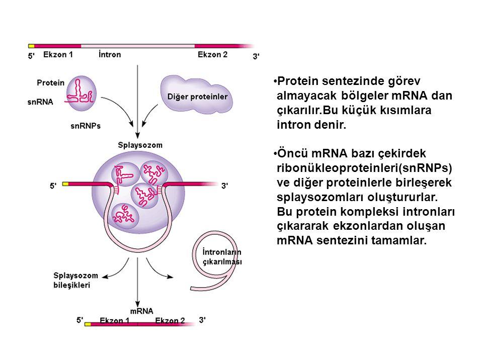 Protein sentezinde görev