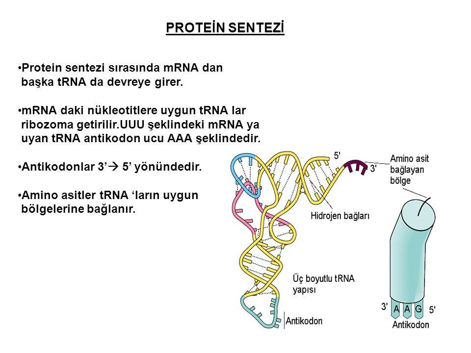 PROTEİN SENTEZİ Protein sentezi sırasında mRNA dan