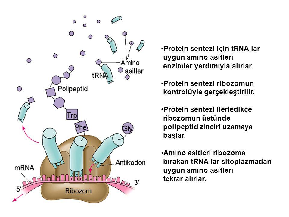 Protein sentezi için tRNA lar