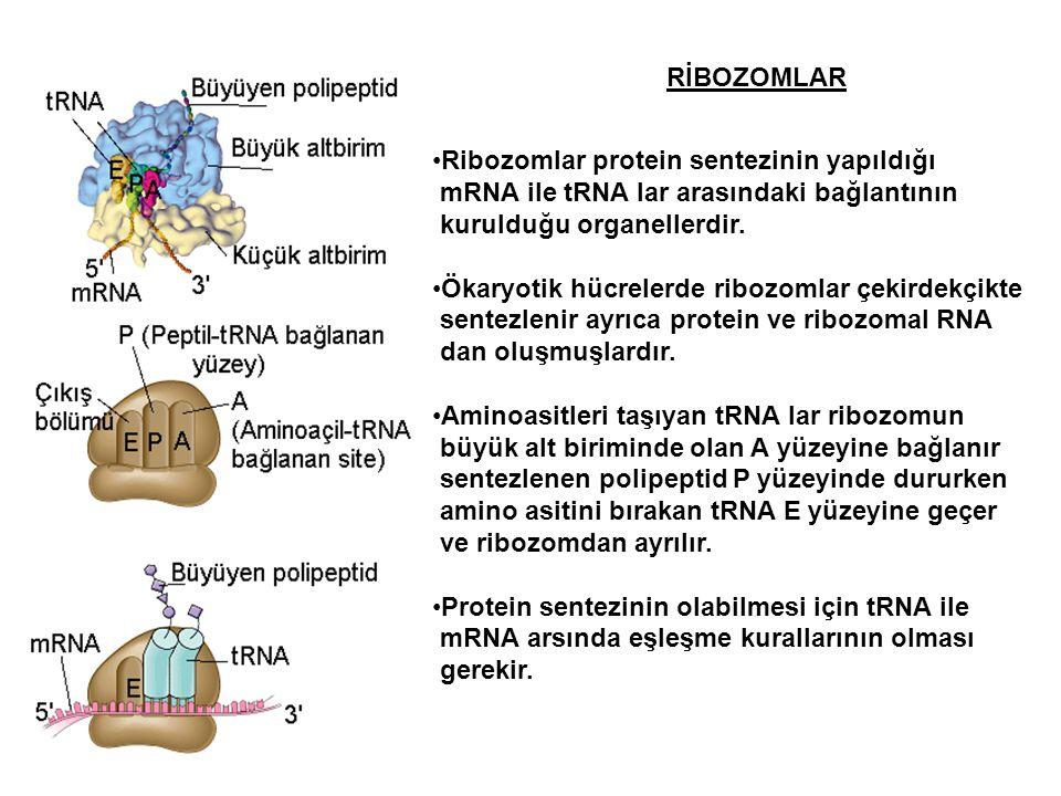 RİBOZOMLAR Ribozomlar protein sentezinin yapıldığı. mRNA ile tRNA lar arasındaki bağlantının. kurulduğu organellerdir.