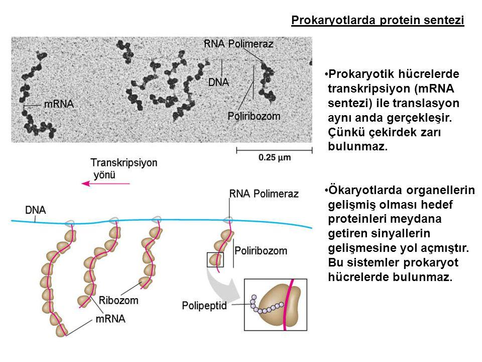 Prokaryotlarda protein sentezi
