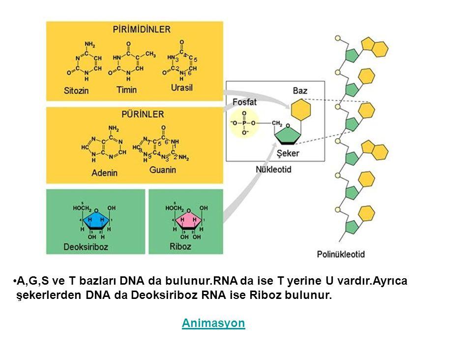 A,G,S ve T bazları DNA da bulunur.RNA da ise T yerine U vardır.Ayrıca