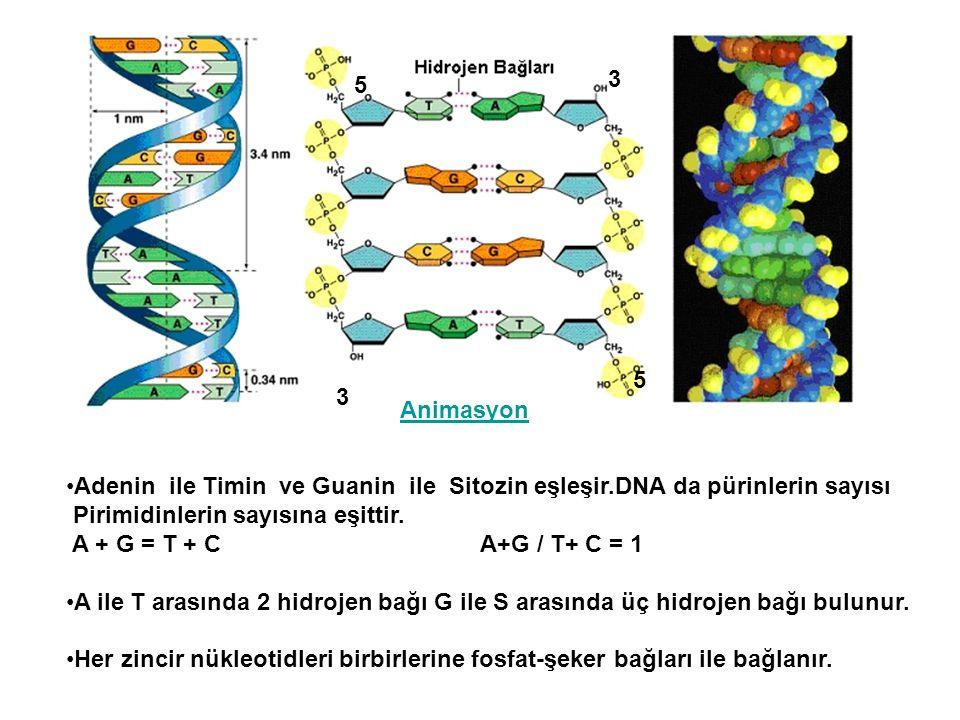 5 3. 5. 3. Animasyon. Adenin ile Timin ve Guanin ile Sitozin eşleşir.DNA da pürinlerin sayısı.