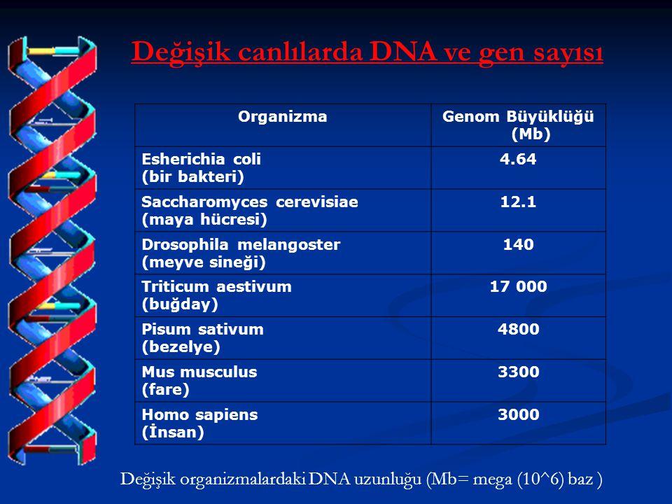 Değişik canlılarda DNA ve gen sayısı