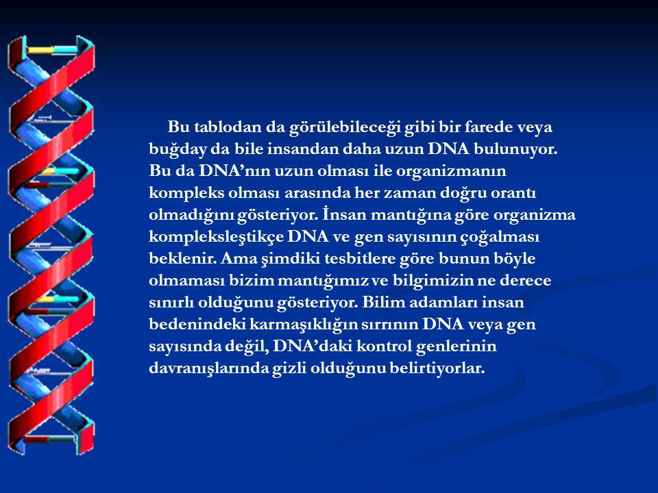 Bu tablodan da görülebileceği gibi bir farede veya buğday da bile insandan daha uzun DNA bulunuyor.