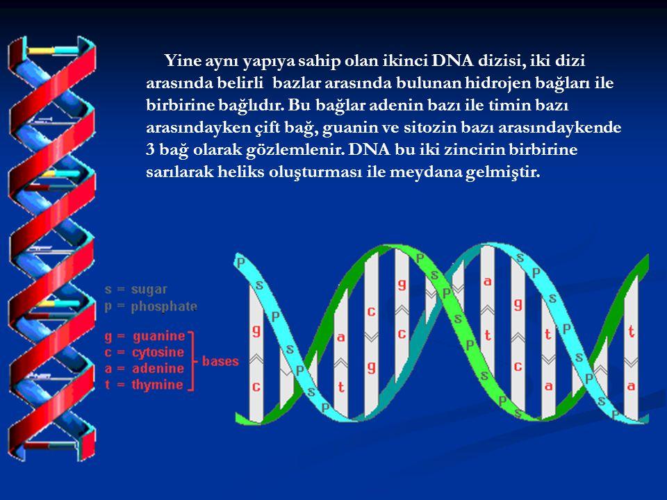 Yine aynı yapıya sahip olan ikinci DNA dizisi, iki dizi arasında belirli bazlar arasında bulunan hidrojen bağları ile birbirine bağlıdır.