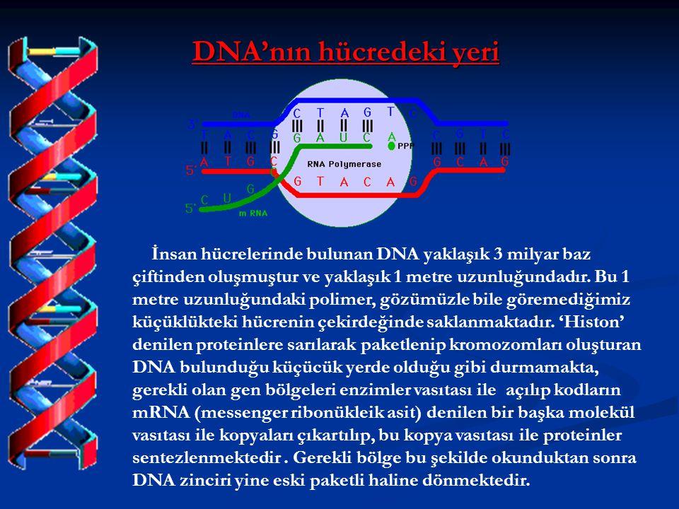 DNA'nın hücredeki yeri