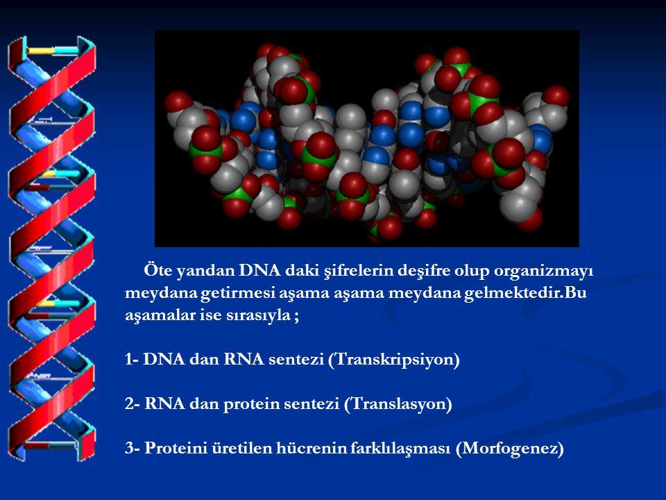 Öte yandan DNA daki şifrelerin deşifre olup organizmayı meydana getirmesi aşama aşama meydana gelmektedir.Bu aşamalar ise sırasıyla ;