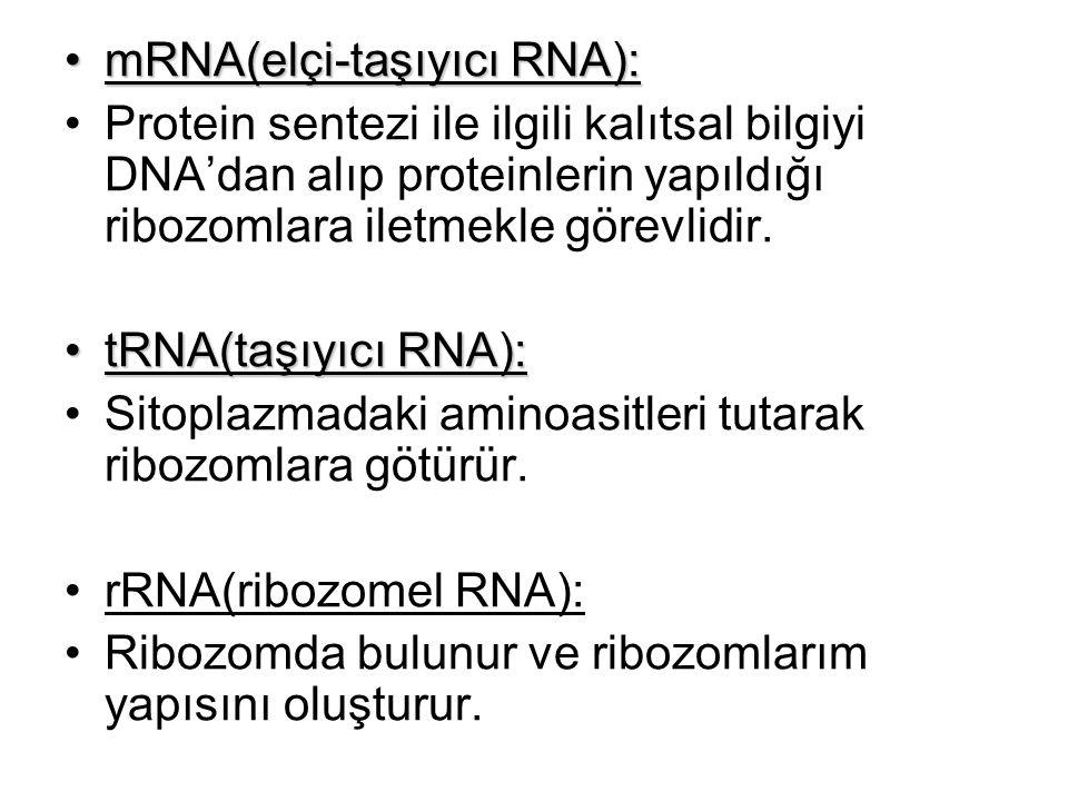 mRNA(elçi-taşıyıcı RNA):