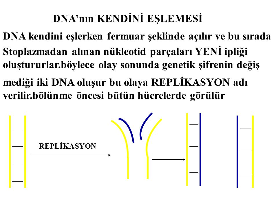 DNA'nın KENDİNİ EŞLEMESİ