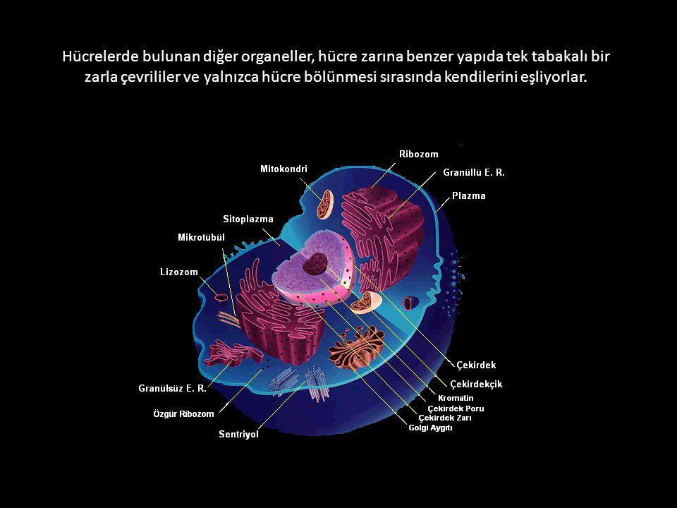 Hücrelerde bulunan diğer organeller, hücre zarına benzer yapıda tek tabakalı bir zarla çevrililer ve yalnızca hücre bölünmesi sırasında kendilerini eşliyorlar.