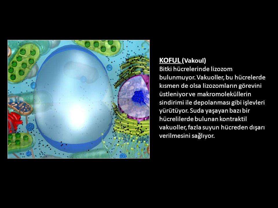 KOFUL (Vakoul) Bitki hücrelerinde lizozom bulunmuyor