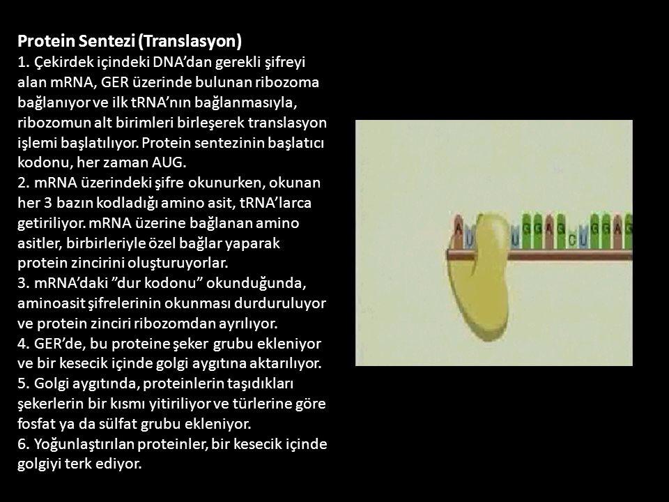 Protein Sentezi (Translasyon) 1