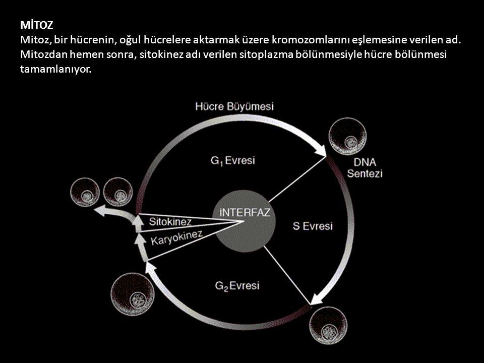 MİTOZ Mitoz, bir hücrenin, oğul hücrelere aktarmak üzere kromozomlarını eşlemesine verilen ad.