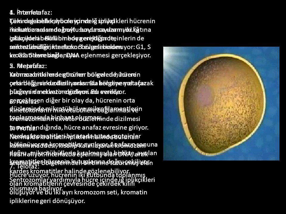 1. İnterfaz: Tüm organeller, hücre içindeki sinyal mekanizmaları doğrultusunda sayılarını iki katına çıkarıyorlar. Bölünmede gerekli proteinlerin de sentezlendiği interfazın 3 evresi bulunuyor: G1, S ve G2. S evresinde, DNA eşlenmesi gerçekleşiyor.