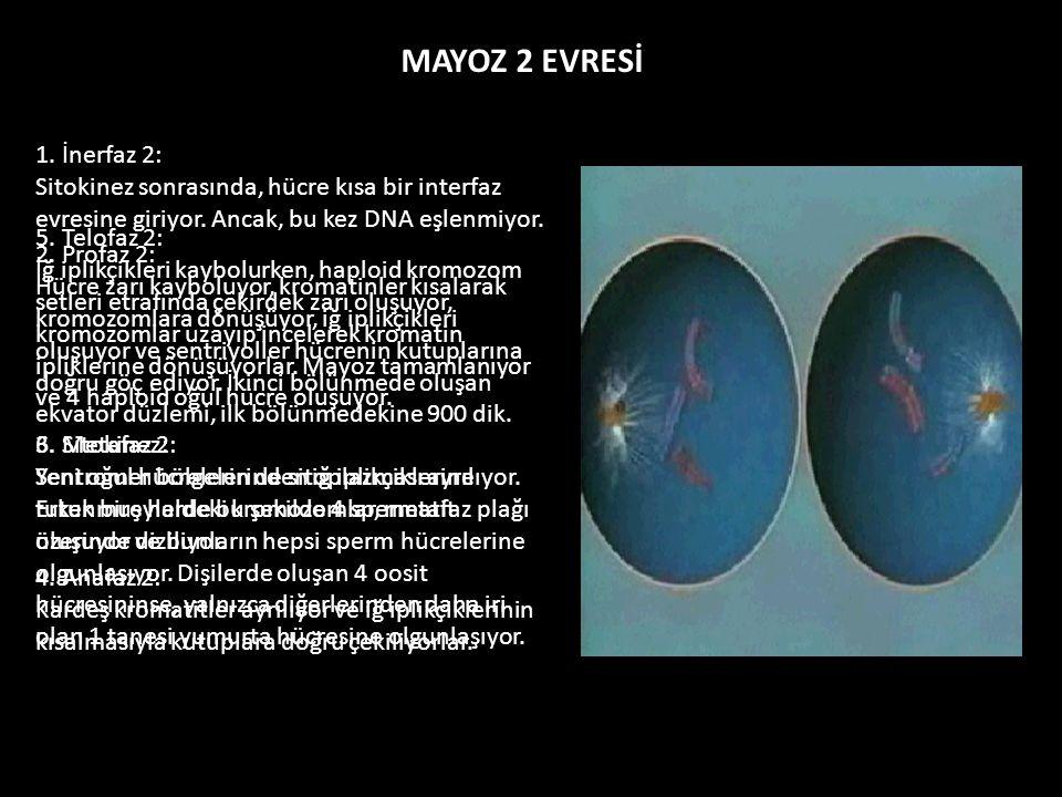 MAYOZ 2 EVRESİ 1. İnerfaz 2: Sitokinez sonrasında, hücre kısa bir interfaz evresine giriyor. Ancak, bu kez DNA eşlenmiyor.