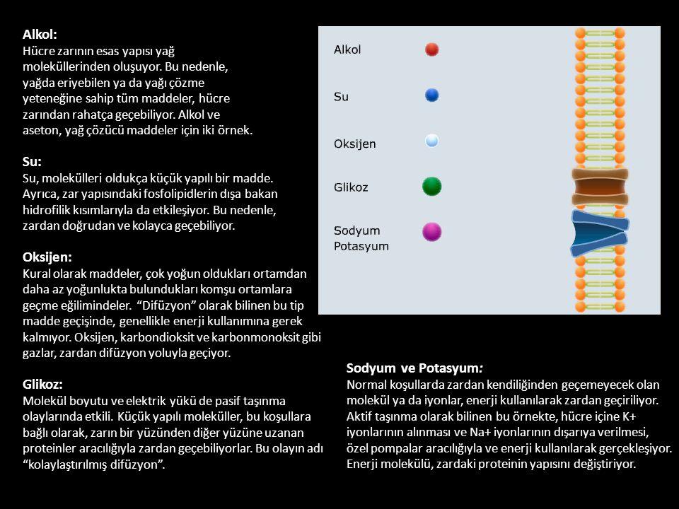 Alkol: Hücre zarının esas yapısı yağ moleküllerinden oluşuyor