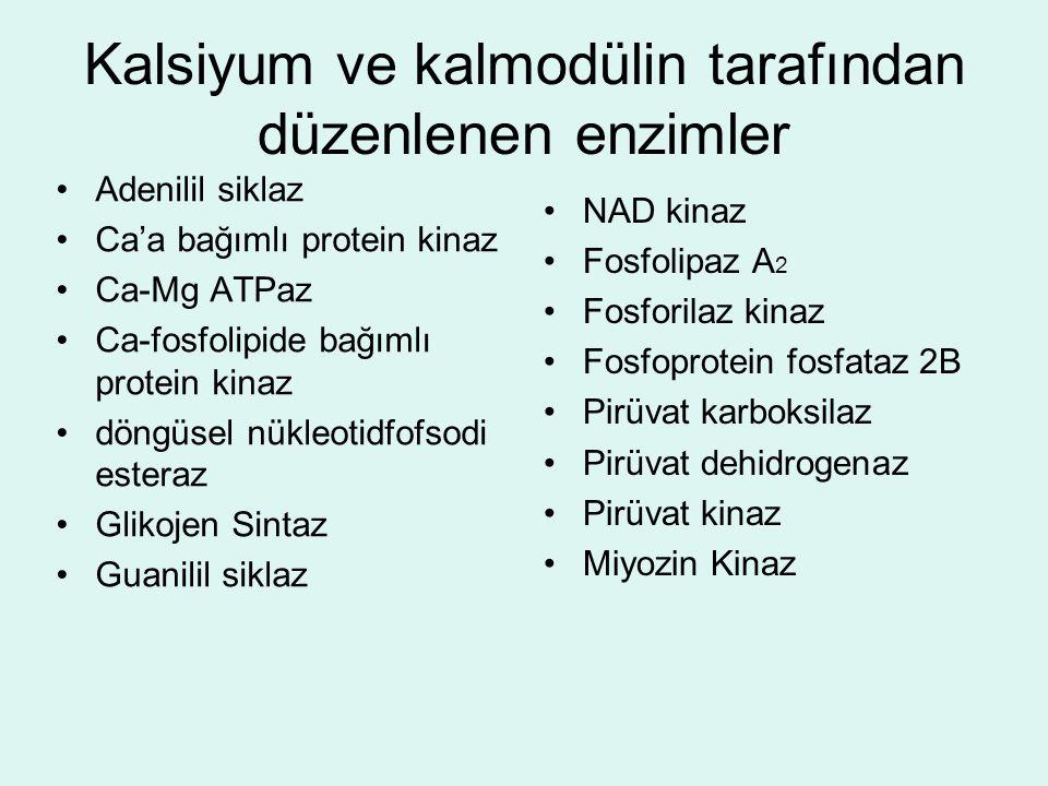 Kalsiyum ve kalmodülin tarafından düzenlenen enzimler
