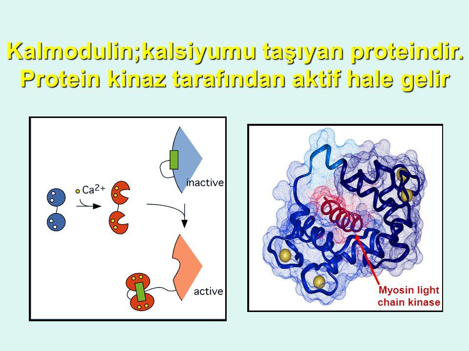 Kalmodulin;kalsiyumu taşıyan proteindir