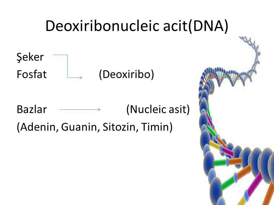 Deoxiribonucleic acit(DNA)