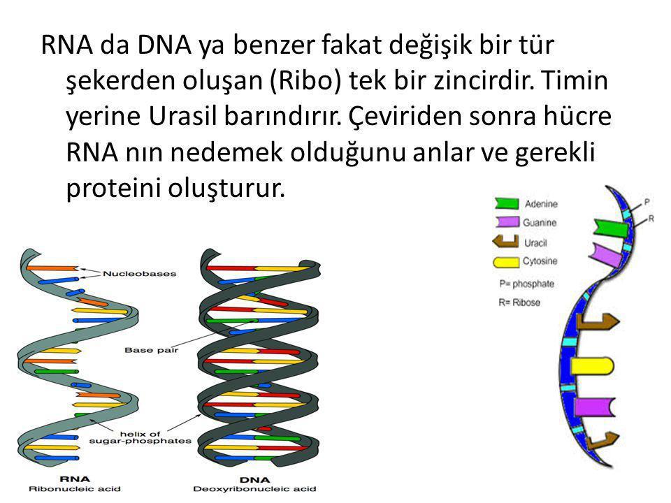 RNA da DNA ya benzer fakat değişik bir tür şekerden oluşan (Ribo) tek bir zincirdir.